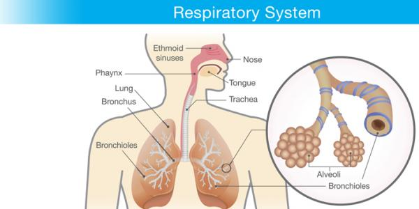 Non-Respiratory Functions of the Respiratory System ... |Respiratory System Organs And Functions